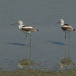 American Avocets. I think these were in Hayward, but there were also some on the north side of Oyster Bay RS.