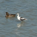 Northern Shoveler and an American Avocet together.