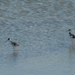 Black necked stilt, Hayward RS.