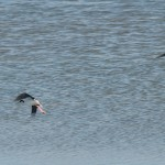 Black-legged stilt in flight, Hayward RS.