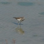 Killdeer in Hayward RS.