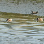Northern Shovelers in Hayward RS.