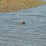 Ruddy Duck in Hayward RS.