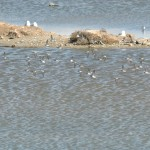 Sandpiper flock in flight, Hayward RS.
