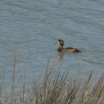 Northern Shoveler, Hayward RS.