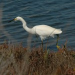 Snowy Egret, Oyster Bay RS.