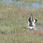 Willets in flight. They are very gray on the outside, but have sporty black and white inner wing pattern.
